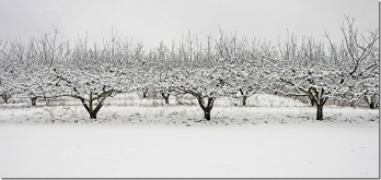 Apple Trees in Snow # 1-  11x24